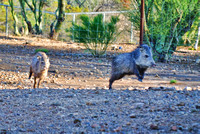 Painterly Javelina 3