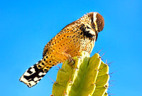Cactus Wren on Organ Pipe Cactus_Enlarged