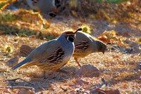 Quail Encounter IV