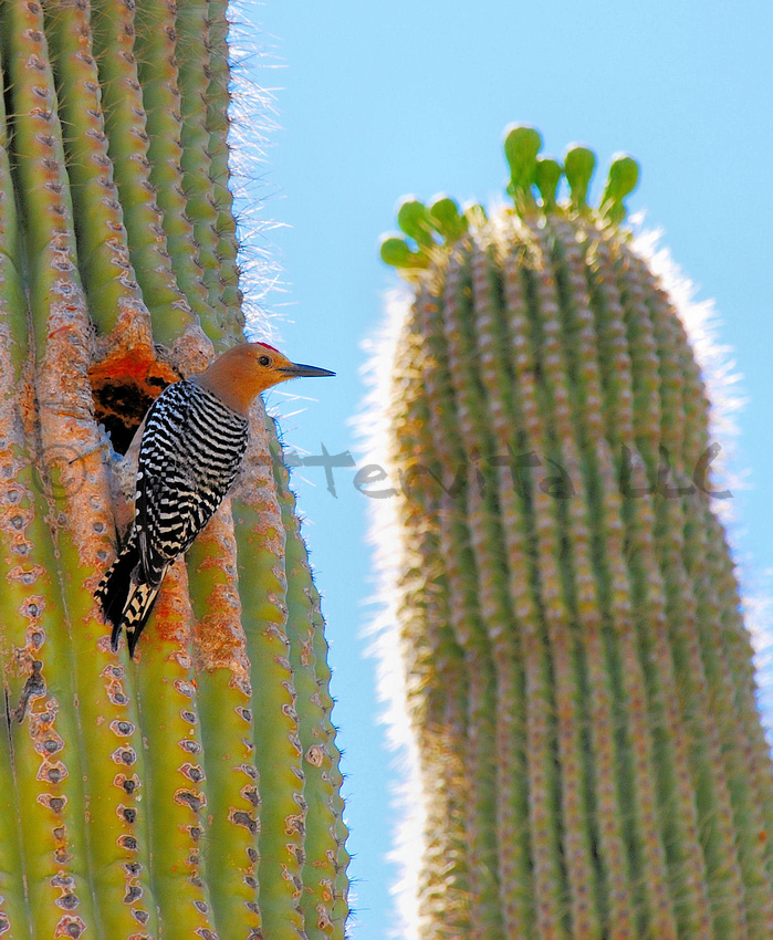 Gila Woodpecker 4
