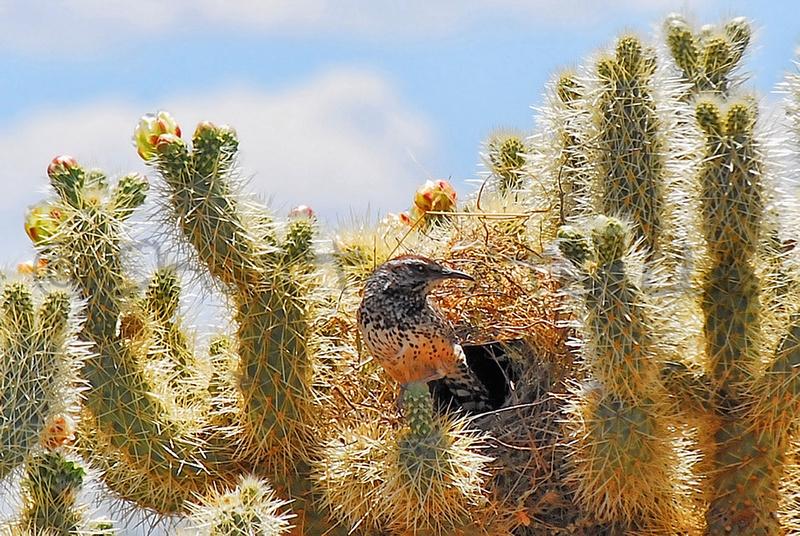 Cactus Wren VI