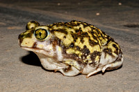 Couch's Spadefoot Toad