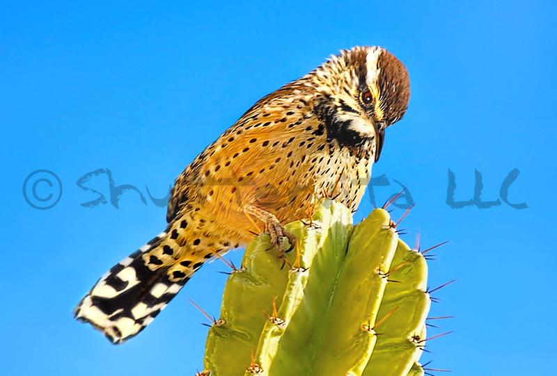 Cactus Wren on Organ Pipe Cactus_Enlarged